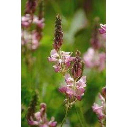 Wild Flower - Sainfoin - Onobrychis Vicifolia - 500 Seeds