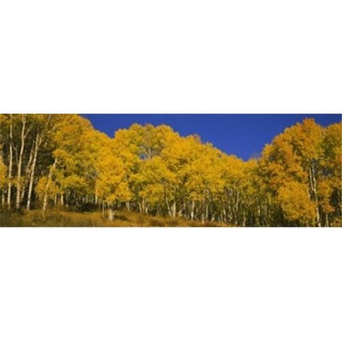 Low angle view of Aspen trees in a forest  Telluride  San Miguel County  Colorado  USA Poster Print by  - 36 x 12