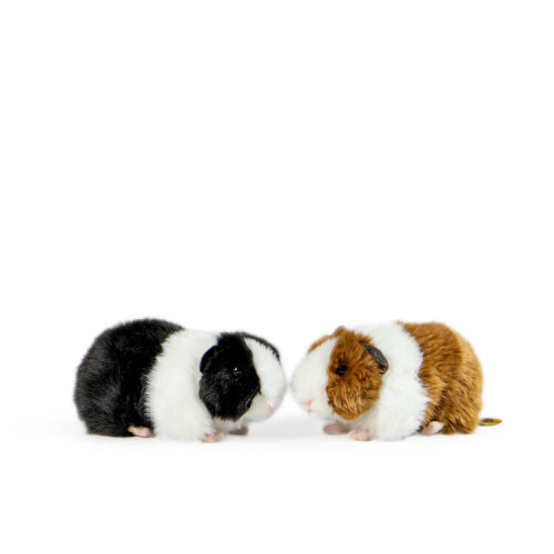 Living Nature Guinea Pigs with Sound