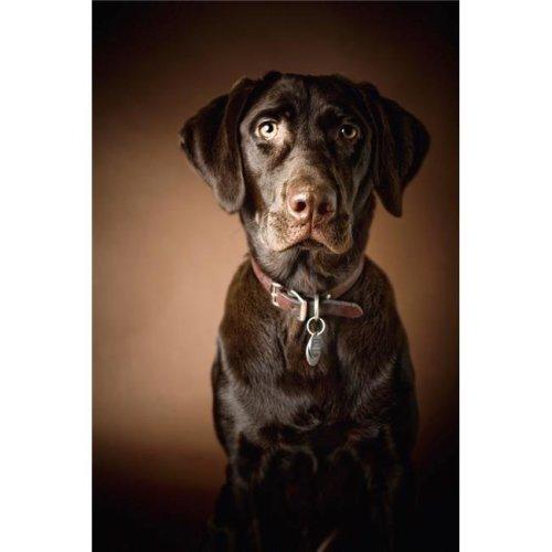 Chocolate Labrador Retriever - Portrait of A Labrador Poster Print, 12 x 19