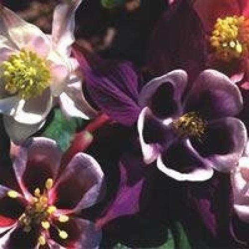 Flower - Aquilegia - Cottage Garden Mix - 100 Seeds