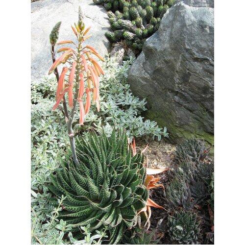 Aloe aristata Bristle-tip hardy aloe Young plant in 9cm pot x 3 Pots