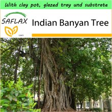 SAFLAX Garden to Go - Indian Banyan Tree - Ficus benghalensis - 20 seeds - With clay pot, glazed tray, substrate and fertilizer