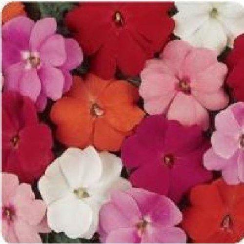 Flower - Impatiens - New Guinea - Divine Mixed F1 - 10 Seeds