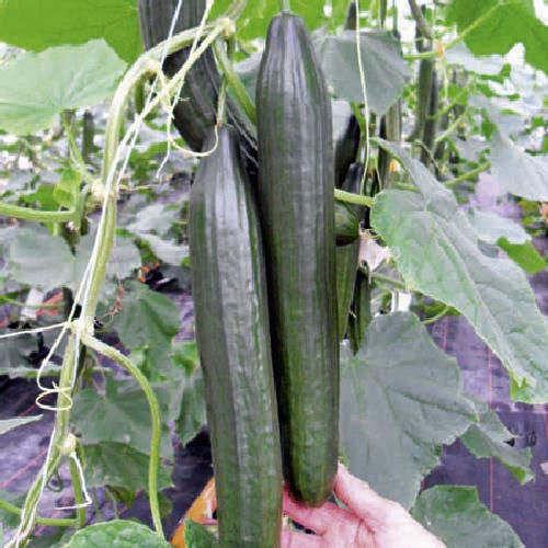 8pk Viridis Hortus Cucumber 'Burpless Tasty Green' F1 Vegetable Seeds