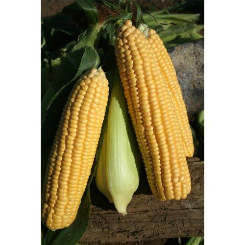 Vegetable - Sweetcorn - Ovation F2 - 250 Seeds