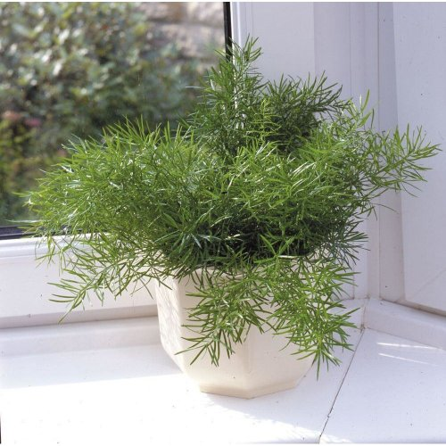 House Plant - Asparagus sprengeri - 1 Seeds