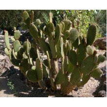 Opuntia microdasys Rufida Prickly Pear Young Plant 9cm Pot x 3 Pots