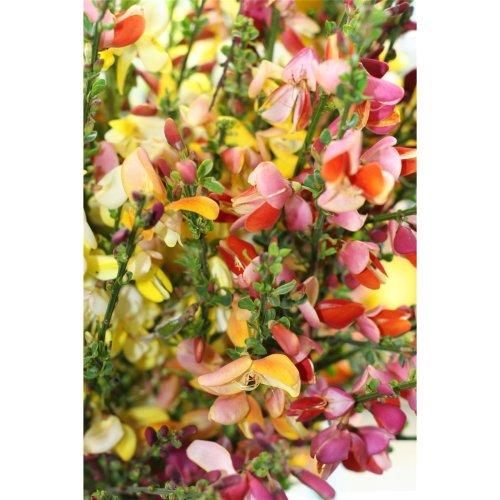 Flower - Broom - Gypsy Mixed - 25 Seeds