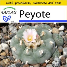 SAFLAX Potting Set - Peyote - Lophophora williamsii - 20 seeds - With mini greenhouse, potting substrate and 2 pots