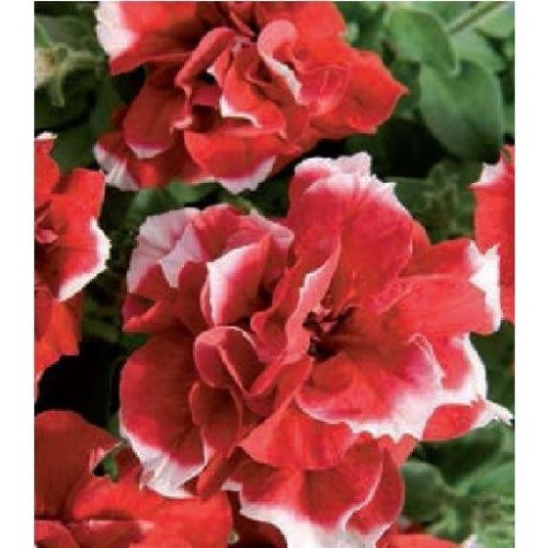 Flower - Petunia - Double Pirouette Red and White - 30 Seeds