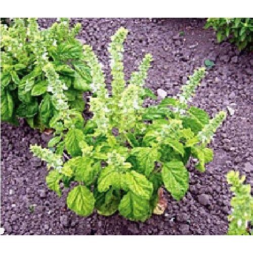 Herb - Basil - Lettuce Leaved - 400 Seeds