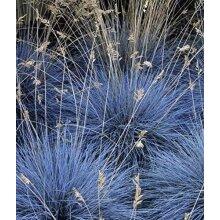 3 x Festuca Intense Blue - Blue Grass Plants Ready to Plant Arrives in 9cm Pots