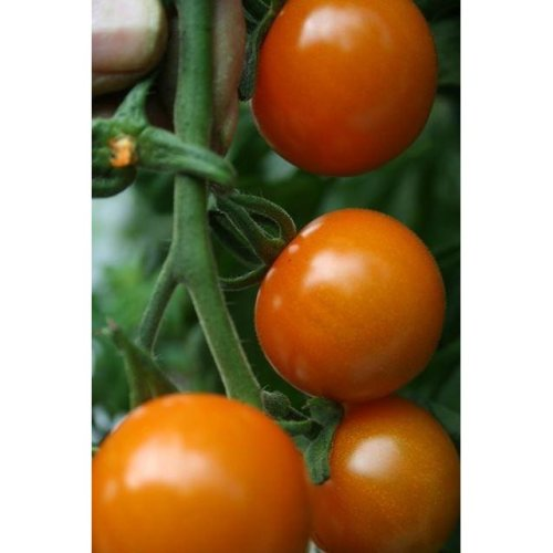 Vegetable - Tomato - Sungold F1 - 25 Seeds