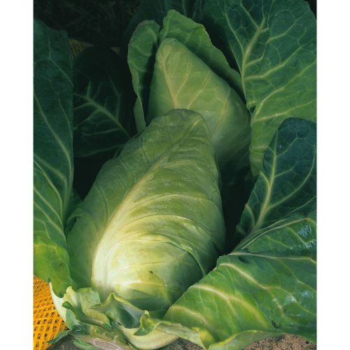 Vegetable - Cabbage - Durham Early - 600 Seeds