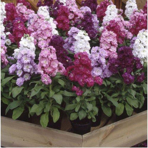 Flower - Stock - Matthiola Incana - Cinderella Mixed