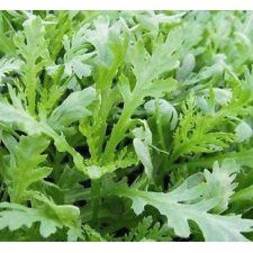Vegetable - Chopsuey Greens - Chrysanthemum Coronarium - 1000 Seeds