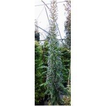 Echium pininana Blue Tree Echium Young Plant 9cm Pot x 3 Pots