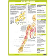 Upper Limbs Nervous System  Poster - Anterior