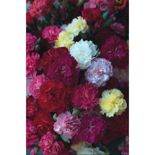 Flower - Carnation - Dwarf Fragrance - 300 Seeds