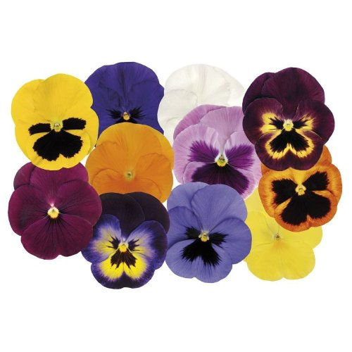 Flower - Pansy - Matrix - Spring Selection Mix F1 - 75 Seeds