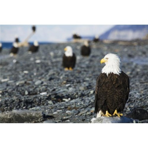 Bald Eagles Standing on The Shore of Kachemak Bay on The Homer Spit Kenai Peninsula South Central Alaska Poster Print - 38 x 24 in. - Large