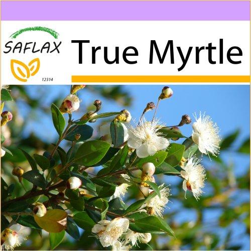 SAFLAX  - True Myrtle - Myrtus communis - 30 seeds