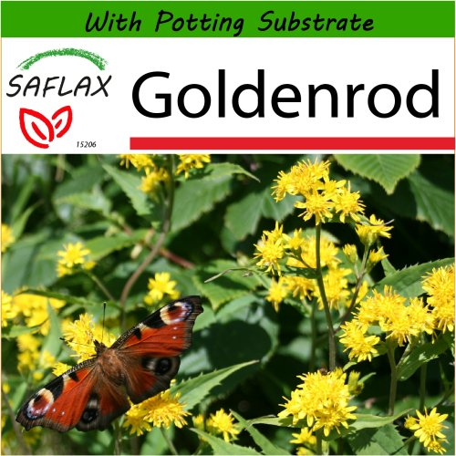 SAFLAX  - Goldenrod - Solidago virgaurea - 100 seeds - With potting substrate for better cultivation