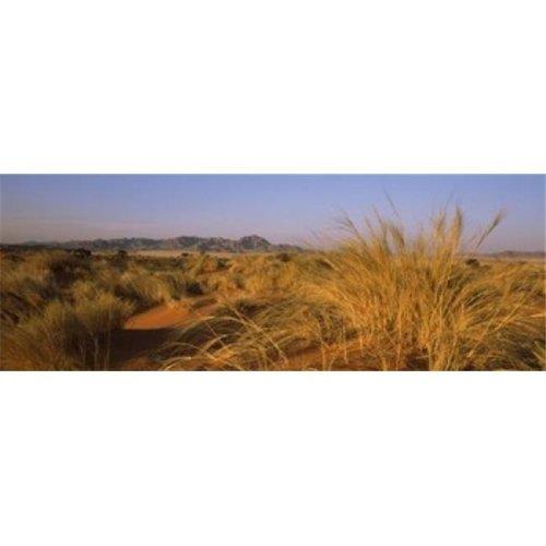 Grass growing in a desert  Namib Rand Nature Reserve  Namib Desert  Namibia Poster Print by  - 36 x 12