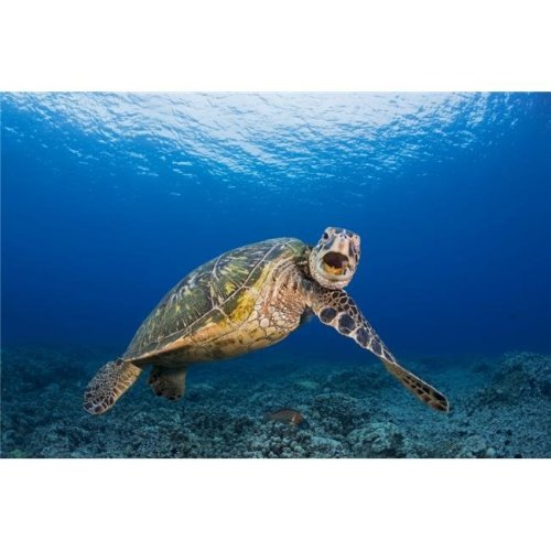 This Green Sea Turtle Chelonia Mydas An Endangered Species is Rubbing Its Chin Poster Print - 38 x 24 in. - Large