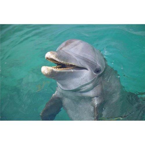 Roatan, Bay Islands, Honduras - A Bottlenose Dolphin Tursiops Truncatus In The Water At Anthonys Key Resort Poster Print, 38 x 24 - Large