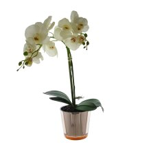 52cm Cream Orchid with gold glass pot