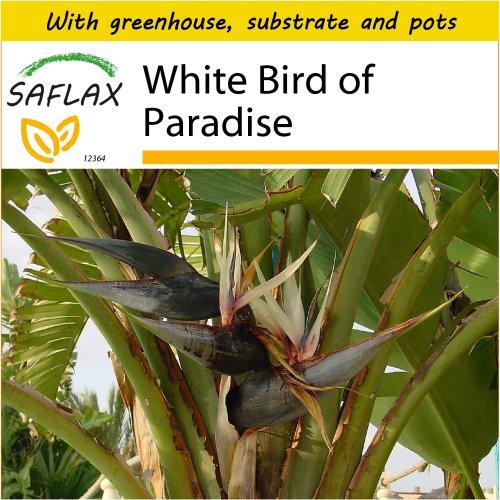 SAFLAX Potting Set - White Bird of Paradise - Strelitzia nicolai - 5 seeds - With mini greenhouse, potting substrate and 2 pots