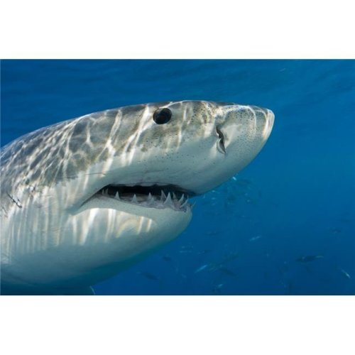 Great White Shark Carcharodon Carcharias Just Below The WaterS Surface - Guadalupe Island - Mexico Print - 19 x 12 in.