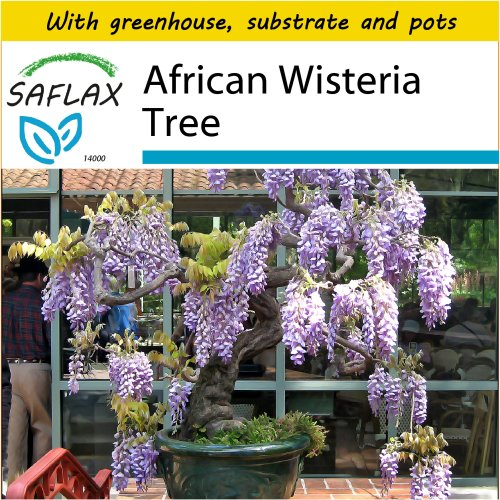SAFLAX Potting Set - Bonsai - African Wisteria Tree - Bolusanthus speciosus - 15 seeds - With mini greenhouse, potting substrate and 2 pots