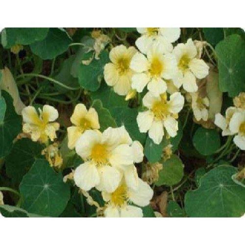 Flower - Nasturtium - Yeti - 50 Seeds