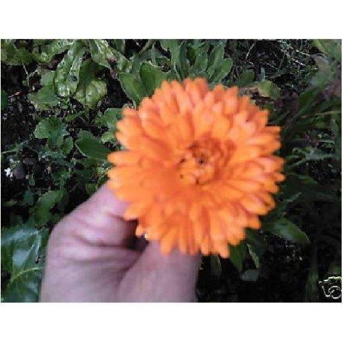 Flower - Calendula Officinalis - Pot Marigold - 1000 Seeds