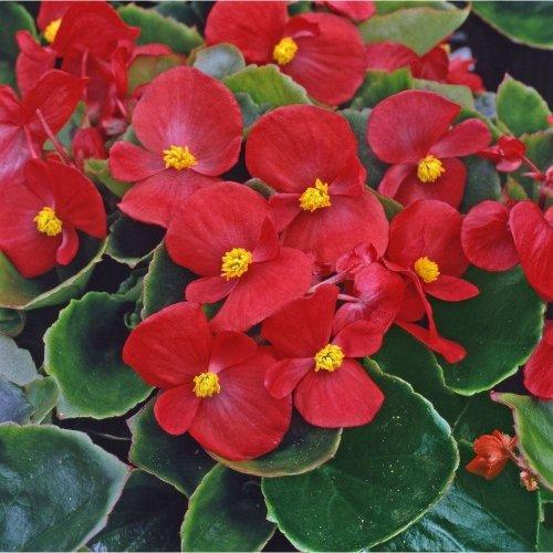 Flower - Begonia - Heaven Red F1 - 100 Seeds
