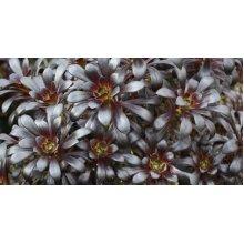 Aeonium arboreum Schwarzkopf / Zwartkop Young Plant 9cm pot