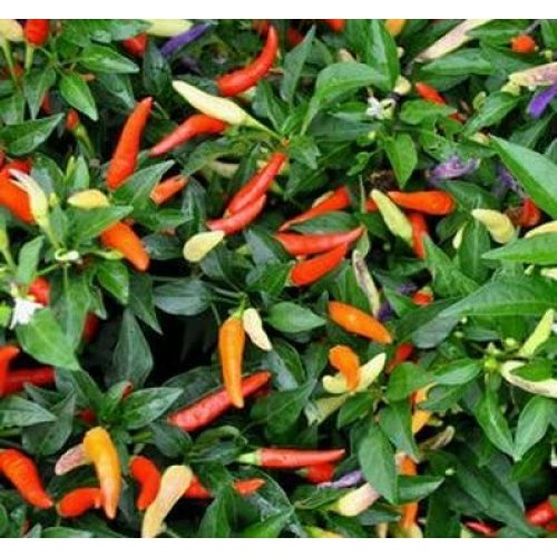 Viridis Hortus Hot Pepper 'Basket Of Fire' Chilli Fruit Seeds - 20 Seeds