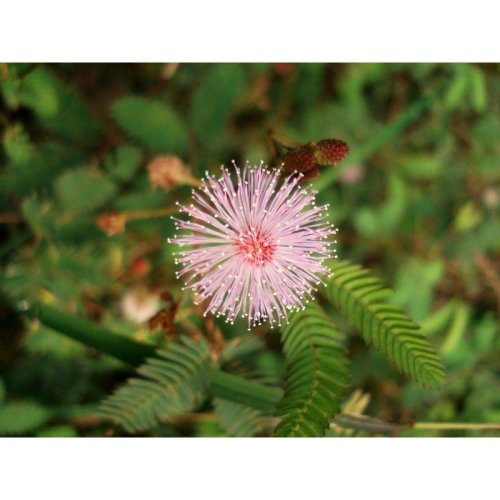 Flower - Mimosa Pudica - Sensitive Plant - 200 Seeds