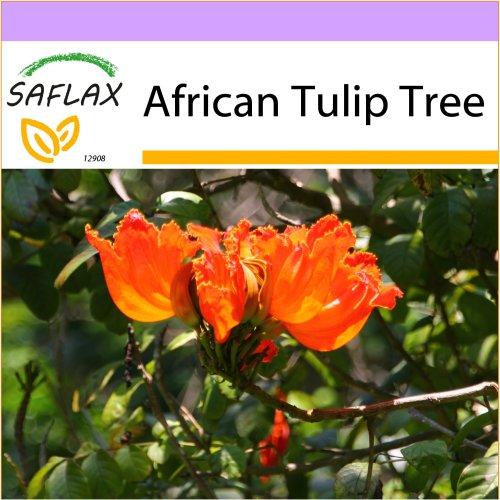 SAFLAX  - African Tulip Tree - Spathodea campanulata - 30 seeds