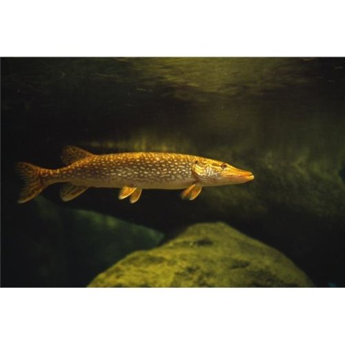 Underwater View of Northern Pike Poster Print by Natural Selection William Banaszewski, 36 x 24 - Large