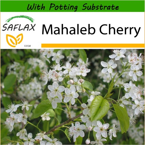 SAFLAX  - Mahaleb Cherry - Prunus mahaleb - 30 seeds - With potting substrate for better cultivation