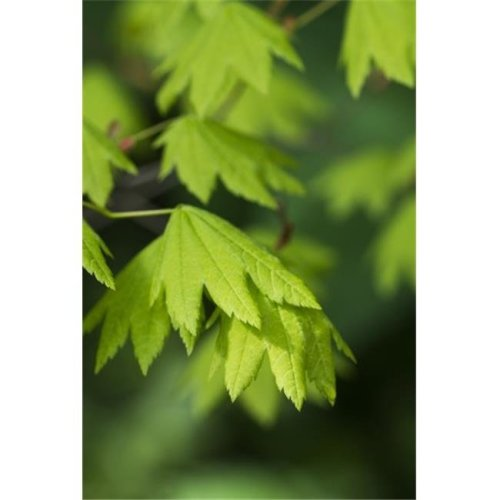 Bright Vine Maple Leaves Acer Circinatum - Hamlet Oregon United States of America Poster Print by Robert L.Potts, 12 x 19