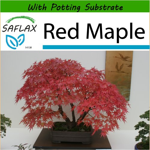 SAFLAX  - Bonsai - Red Maple - Acer rubrum - 20 seeds - With potting substrate for better cultivation