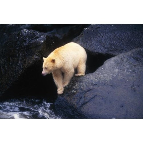 Kermode Bear On Boulder Hunting Salmon Poster Print by Natural Selection David Ponton, 36 x 24 - Large