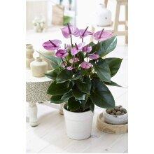 Tropical Flamingo Flower Anthurium Plant Purple 13cm Ceramic Pot