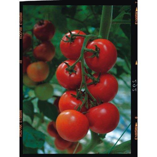 Vegetable - Tomato - Shirley F1 - 10 Seeds
