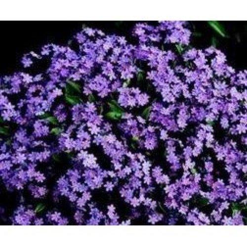 Flower - Forget Me Not - Myosotis - Victoria Rosea - 250 Seeds